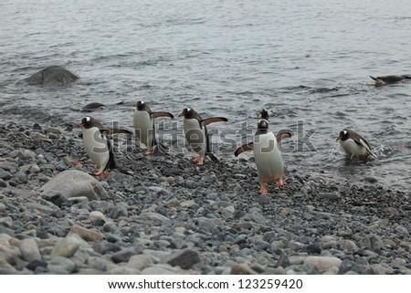 Jackass Penguin Antarctica