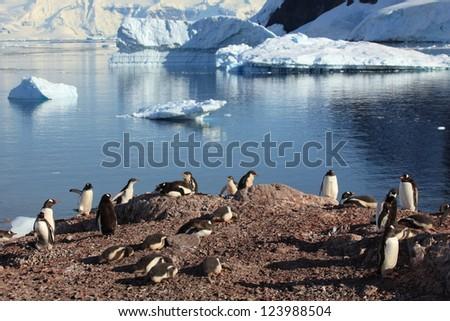 Jackass Penguin Antarctica - stock photo
