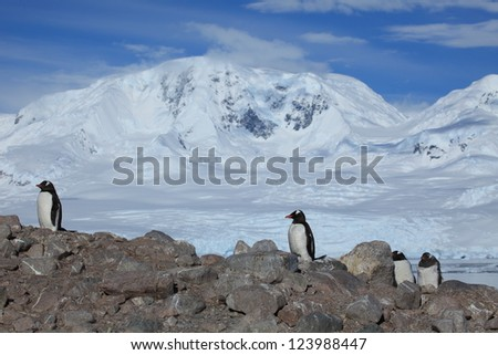 Jackass Penguins Antarctica