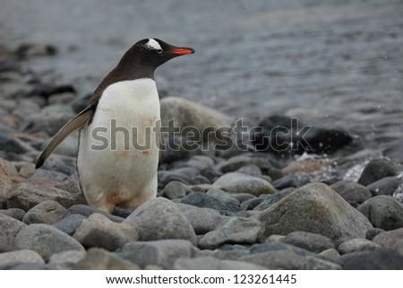 Jackass Penguins in the Antarctica