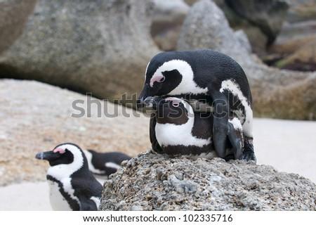Jackass Penguins mating