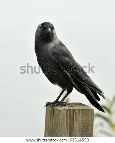 Jackdaw - Corvus monedula Perched on fence post
