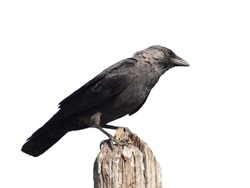 Jackdaw isolated on white background, Corvus monedula