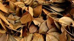 Jackfruit leaves are dry, because they are old and dry due to lack of water