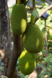 Jackfruits (Artocarpus heterophyllus) hanging on tree in organic orchard, both medium and young. It's hard-shelled fruit with rough surface like blunt thorn. It's large, round, long fruit. Thailand.