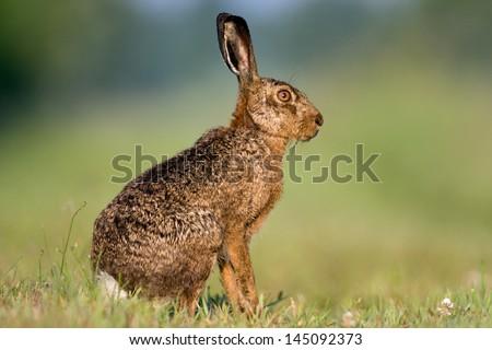 Jackrabbit sitting in grass Сток-фото ©