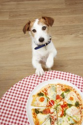 Jackrussell dog begging for human pizza food with paws over the table.