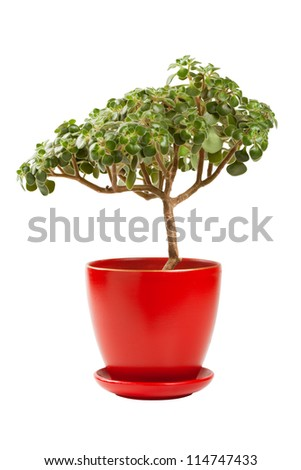 jade money tree (Crassula ovata) in red flowerpot