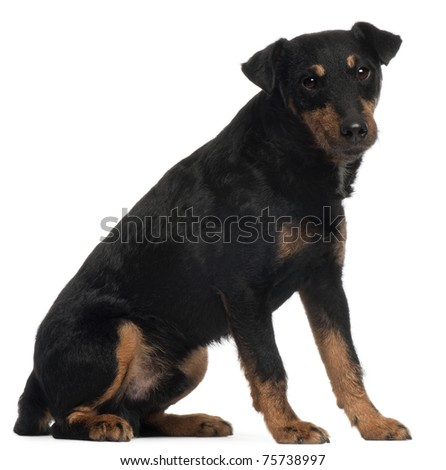 Jagdterrier or German Hunt Terrier, 4 years old, sitting in front of white background #75738997