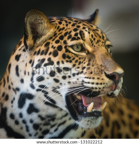 Jaguar #131022212