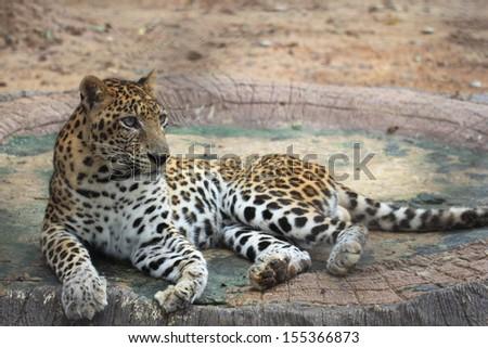 Jaguar #155366873