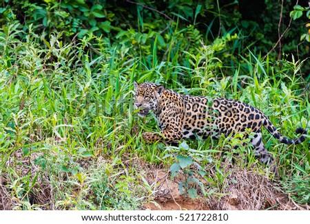 Jaguar #521722810