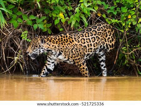 Jaguar #521725336
