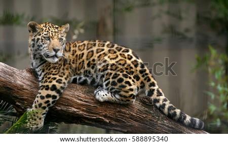 Jaguar #588895340