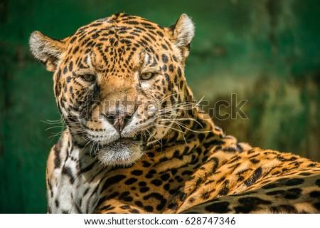 jaguar #628747346