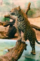 Jaguar animal cat stands on a log.