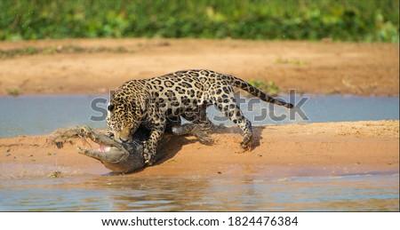 Jaguar attacking cayman crocodile, animals in wild nature, prey hunting