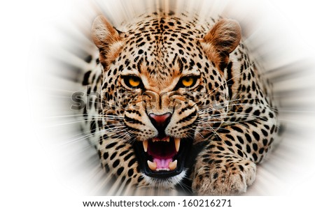 Jaguar attacking out of white background