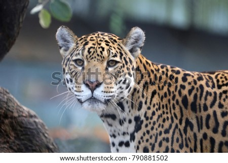 Jaguar close-up portrait #790881502