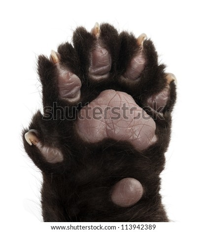 Jaguar cub, 2 months old, Panthera onca, close up against white background