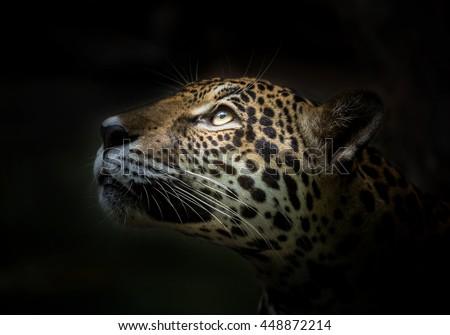 Jaguar face. #448872214