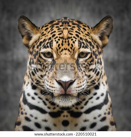 Jaguar face close up #220510021
