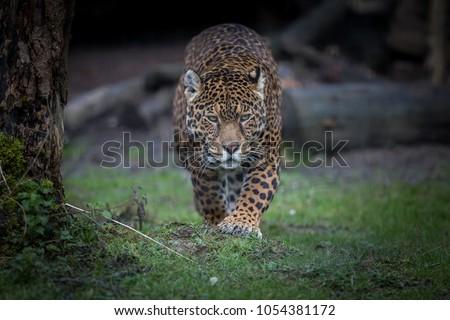Jaguar Feline Animal #1054381172