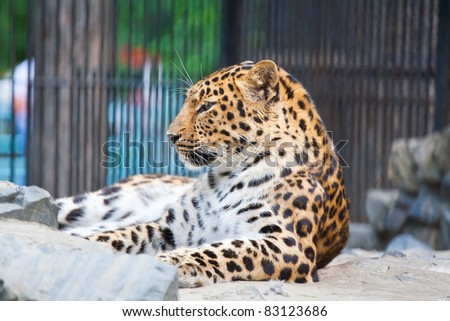 jaguar has a rest