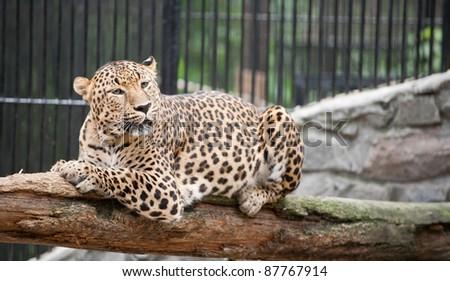 jaguar has a rest