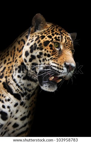 Jaguar head in darkness. Wild animal showing teeth, black background