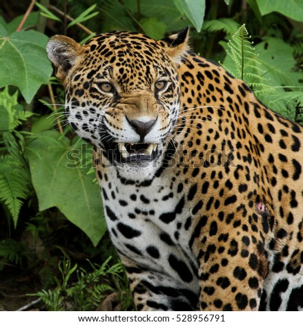 Jaguar in the Amazon Forest #528956791