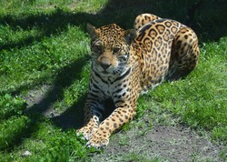 Jaguar in wild, a cat feline in the Panthera genus only extant Panthera species native to the Americas. Jaguar is the third-largest feline after the tiger and lion, and the largest in the Americas.