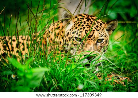 Jaguar in wildlife park of Ecuador