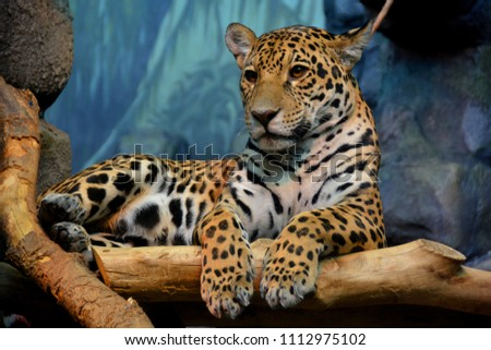 Jaguar is a cat, a feline in the Panthera genus only extant Panthera species native to the Americas. Jaguar is the third-largest feline after the tiger and lion, and the largest in the Americas.