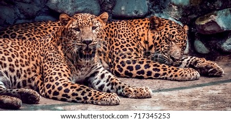Jaguar. Jaguar taking rest. Jaguar in focus. #717345253