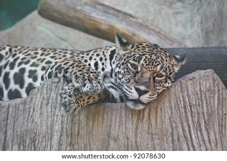 Jaguar lay down in a zoon