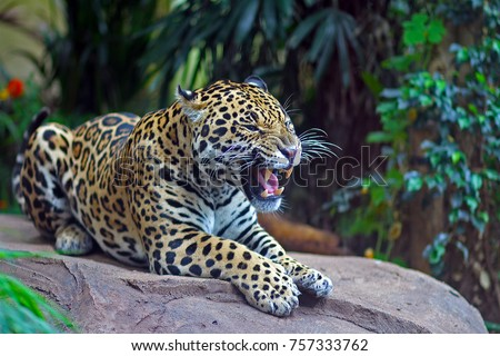 Jaguar leopard roaring to establish dominance. #757333762