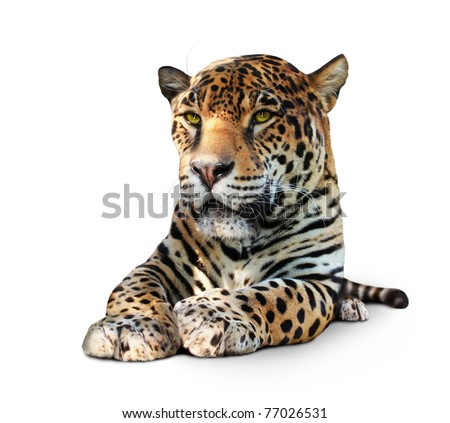 Jaguar, lying animal front view, isolated on white, shadow