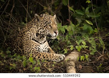 Jaguar lying by log in dense undergrowth #510449392