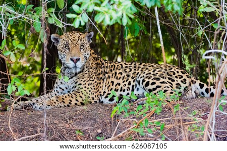 Jaguar lying on ground in jungle #626087105