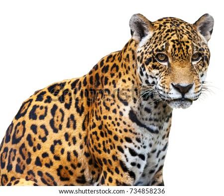 Jaguar on a white background #734858236