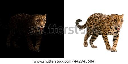 jaguar on black background and jaguar on white background #442945684