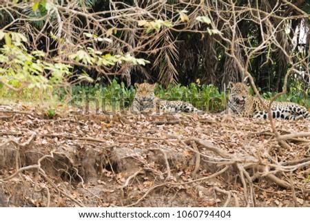 Jaguar on riverbank from Pantanal, Brazil. Wild brazilian feline. Nature and wildlife #1060794404