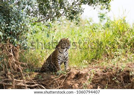 Jaguar on riverbank from Pantanal, Brazil. Wild brazilian feline. Nature and wildlife #1060794407