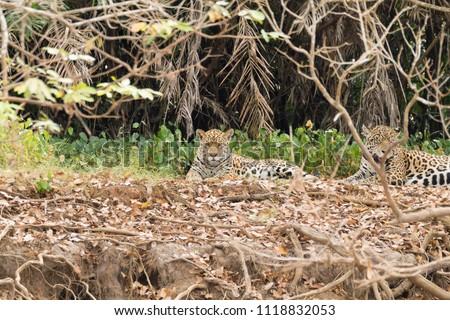Jaguar on riverbank from Pantanal, Brazil. Wild brazilian feline. Nature and wildlife #1118832053