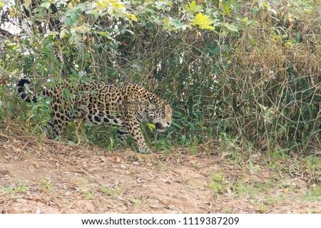Jaguar on riverbank from Pantanal, Brazil. Wild brazilian feline. Nature and wildlife #1119387209