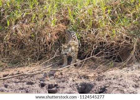 Jaguar on riverbank from Pantanal, Brazil. Wild brazilian feline. Nature and wildlife #1124545277