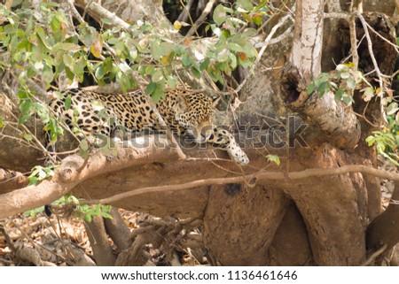 Jaguar on riverbank from Pantanal, Brazil. Wild brazilian feline. Nature and wildlife #1136461646