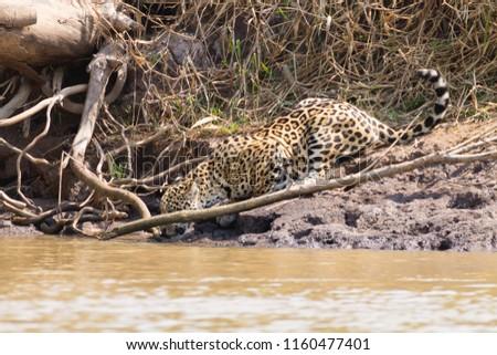 Jaguar on riverbank from Pantanal, Brazil. Wild brazilian feline. Nature and wildlife #1160477401