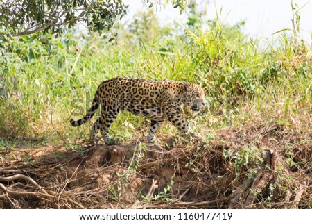 Jaguar on riverbank from Pantanal, Brazil. Wild brazilian feline. Nature and wildlife #1160477419